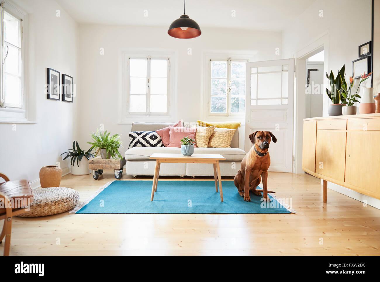 Rhodesian ridgeback sitting in bright modern livingroom - Stock Image