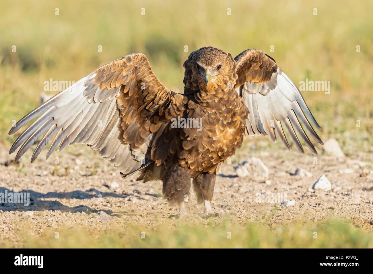 Botswana, Kgalagadi Transfrontier National Park, Mabuasehube Game Reserve, Bataleur eagle, young animal, Terathopius ecaudatus Stock Photo