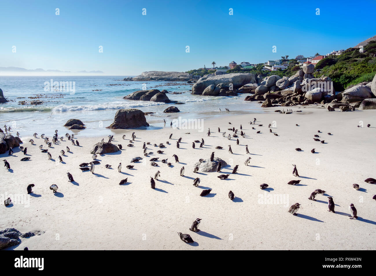 Africa, Simon's Town, Boulders Beach, Brillenpinguin, Colony of black-footed penguins, Spheniscus demersus Stock Photo