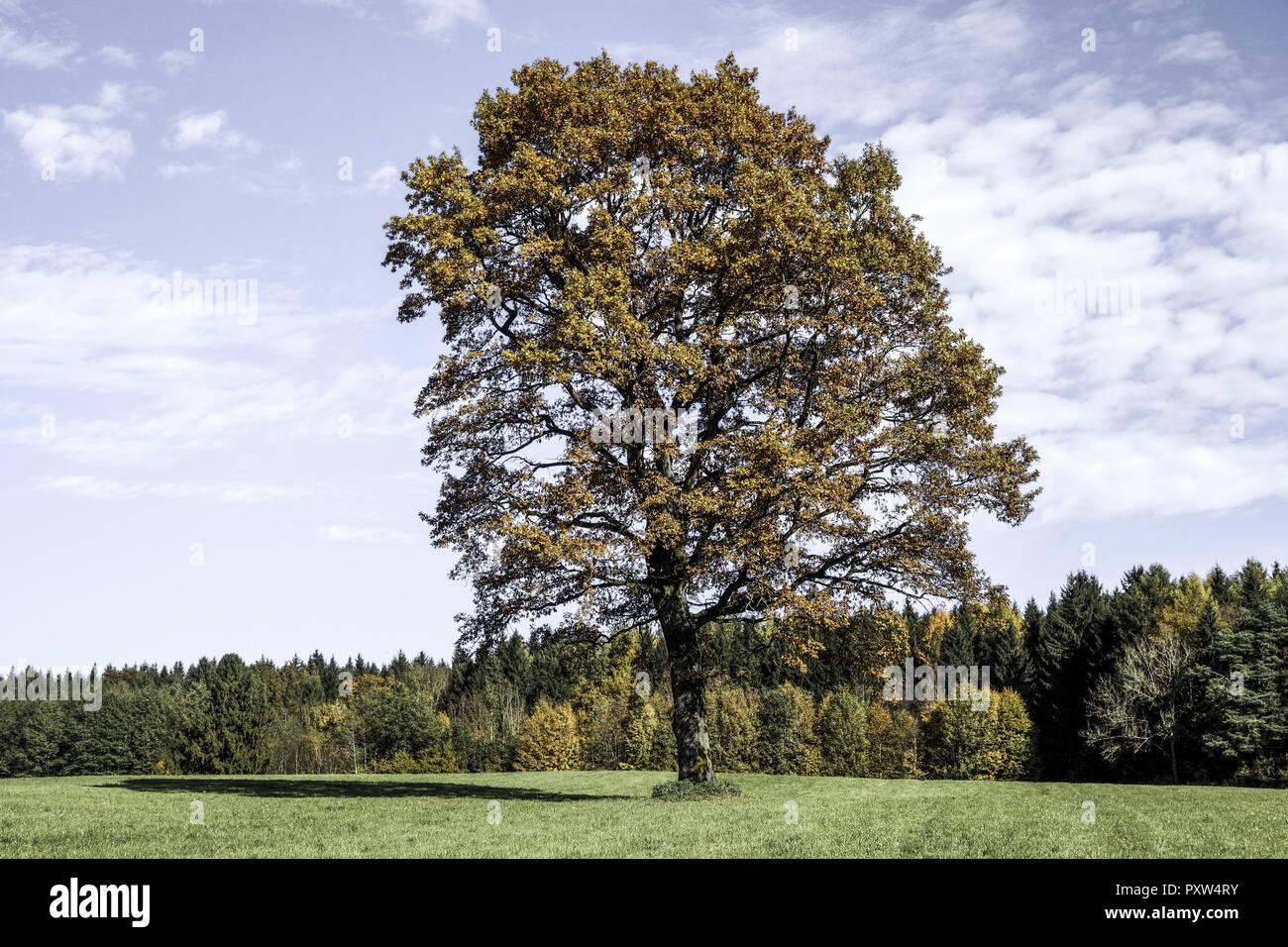 Einzelner Baum, Eiche im Herbst, Single oak tree in autumn, Oak, Tree, Trees, Autumn, Leaves, Autumnal, Season, Landscape, Nature, Germany, Bavaria, E - Stock Image