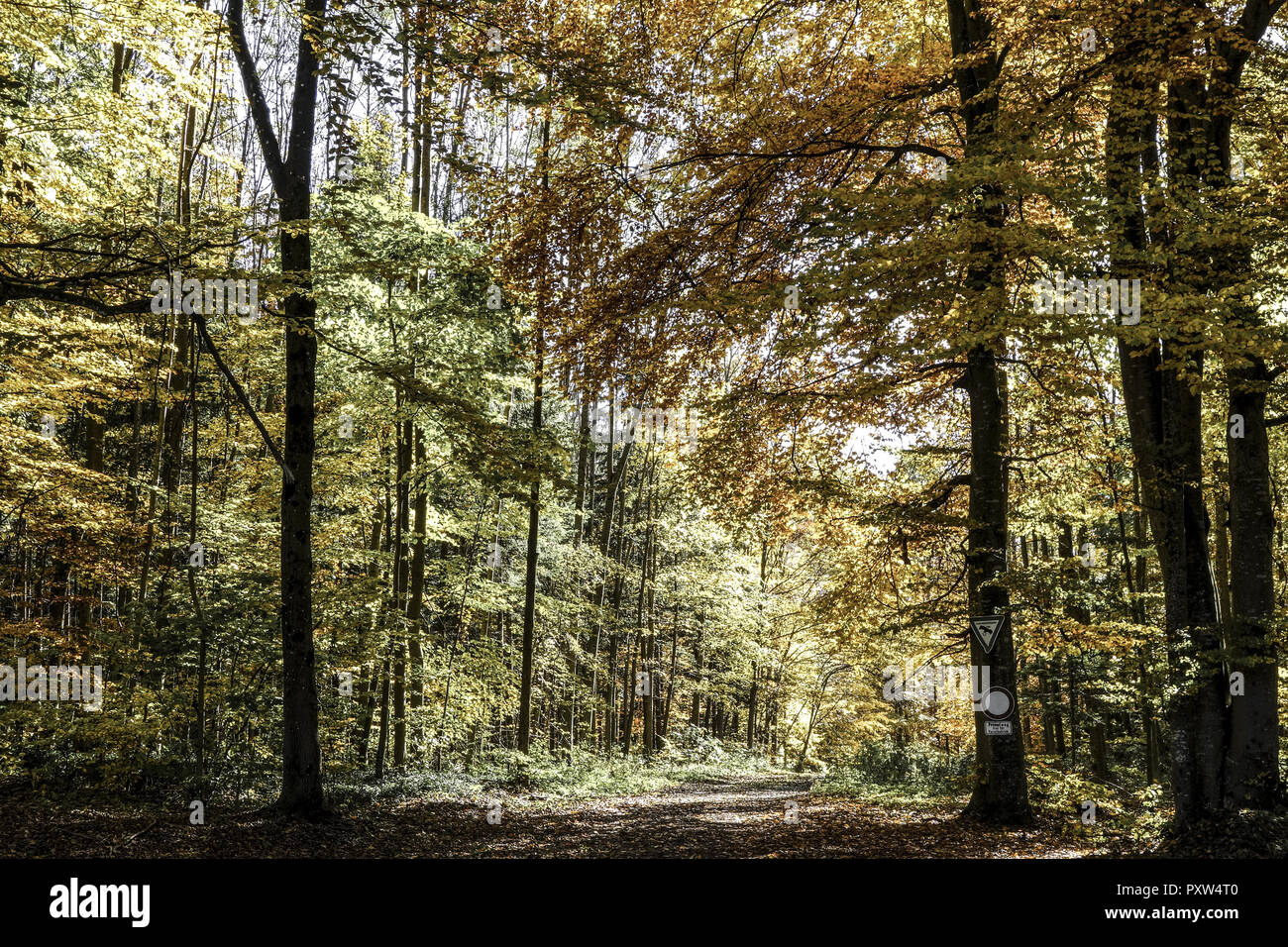 Farbiger Laubwald im Herbst, Colored leaves in autumn deciduous forest, Tree, Trees, Logs, Autumn, Colors, Fall, Foliage, Autumnal, Mood, Idyllic, Lea - Stock Image