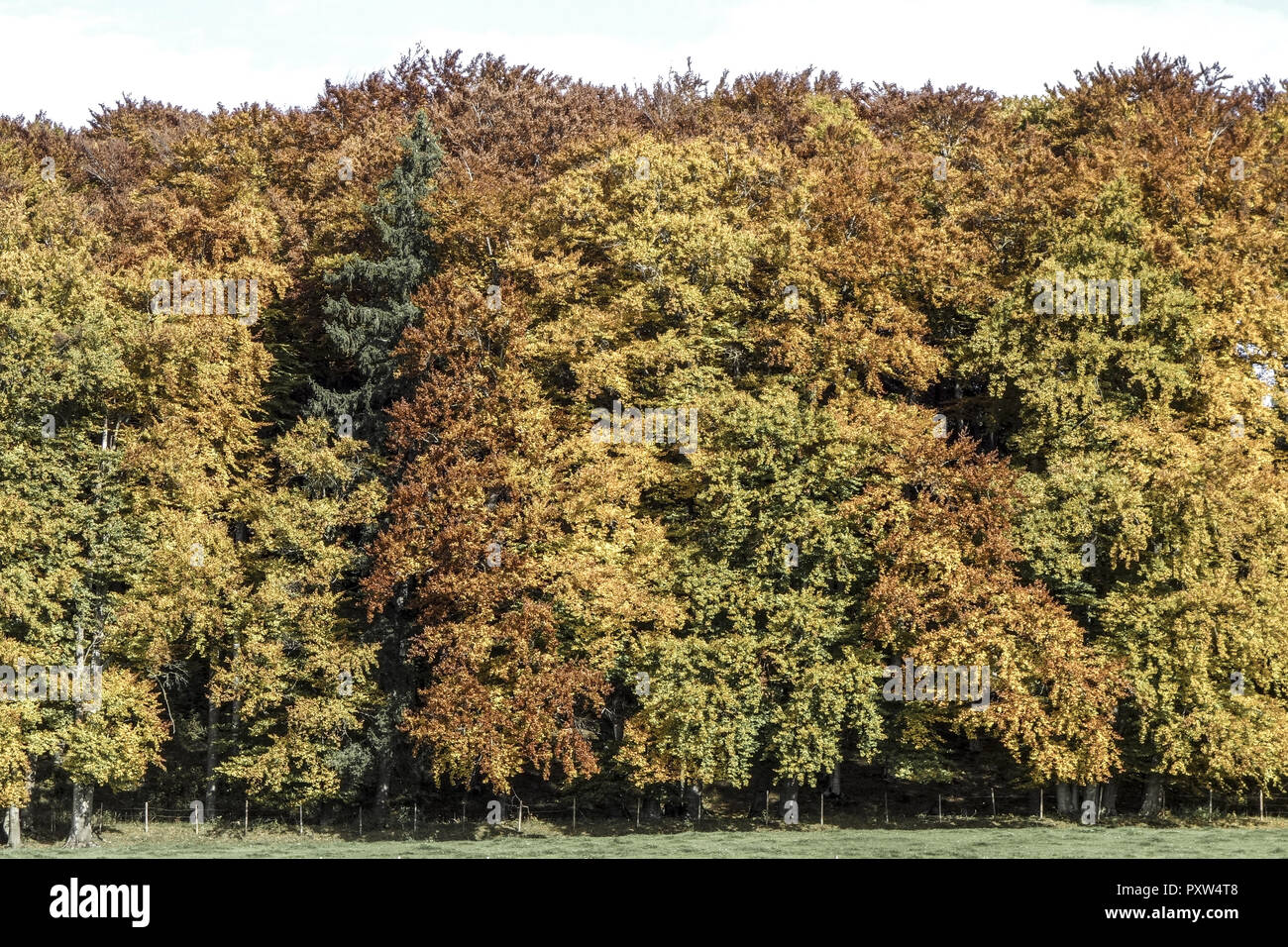 Farbiger Laubwald im Herbst, Colored leaves in autumn deciduous forest, Tree, Trees, Autumn, Colors, Fall, Foliage, Autumnal, Mood, Idyllic, Leaves, D - Stock Image