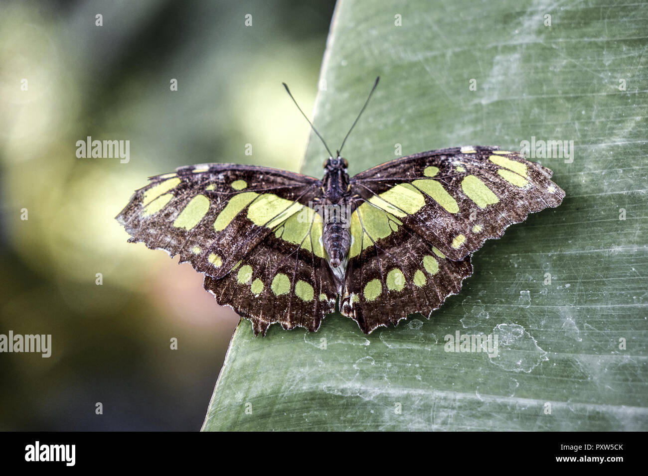 Tropischer Malachit-Schmetterling (Siproeta stelenes) sitzt auf einem Blatt, Tropical Malachite Butterfly (Siproeta stelenes) sitting on a leaf, Butte - Stock Image