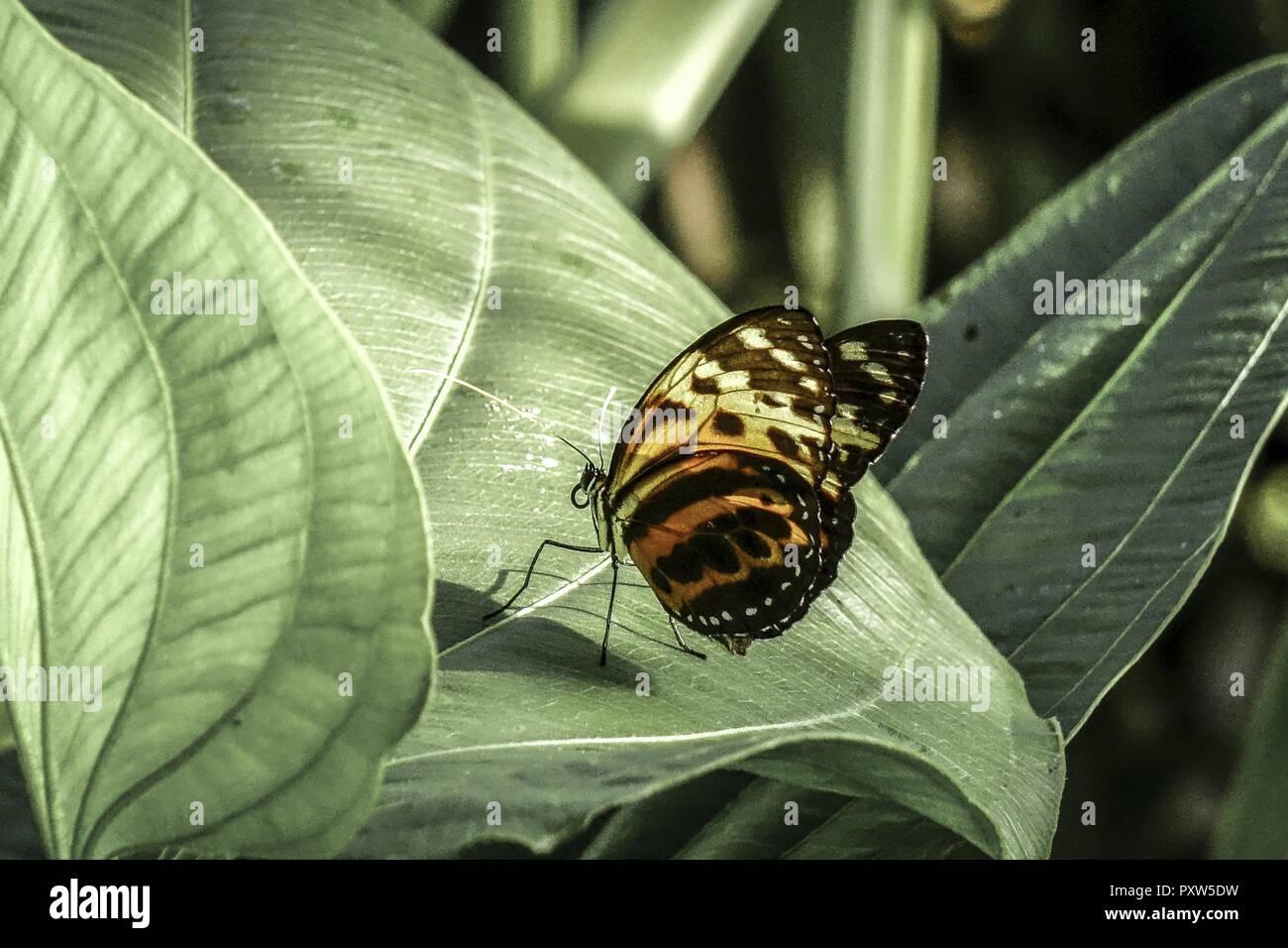 Tropischer Schmetterling, Edelfalter (Heliconius xanthocles), Tropical Butterfly, Nymphalidae (Heliconius xanthocles), Butterfly, Tropical, Butterflie - Stock Image