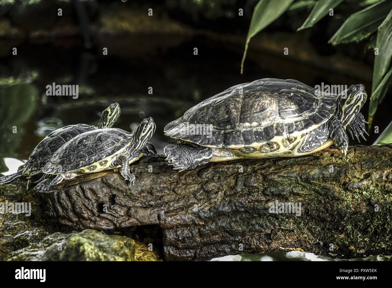 Wasserschildkröte im Gewächshaus, Botanischer Garten, München, Bayern, Deutschland, Turtle in the greenhouse, Botanical Garden, Munich, Bavaria, Germa - Stock Image