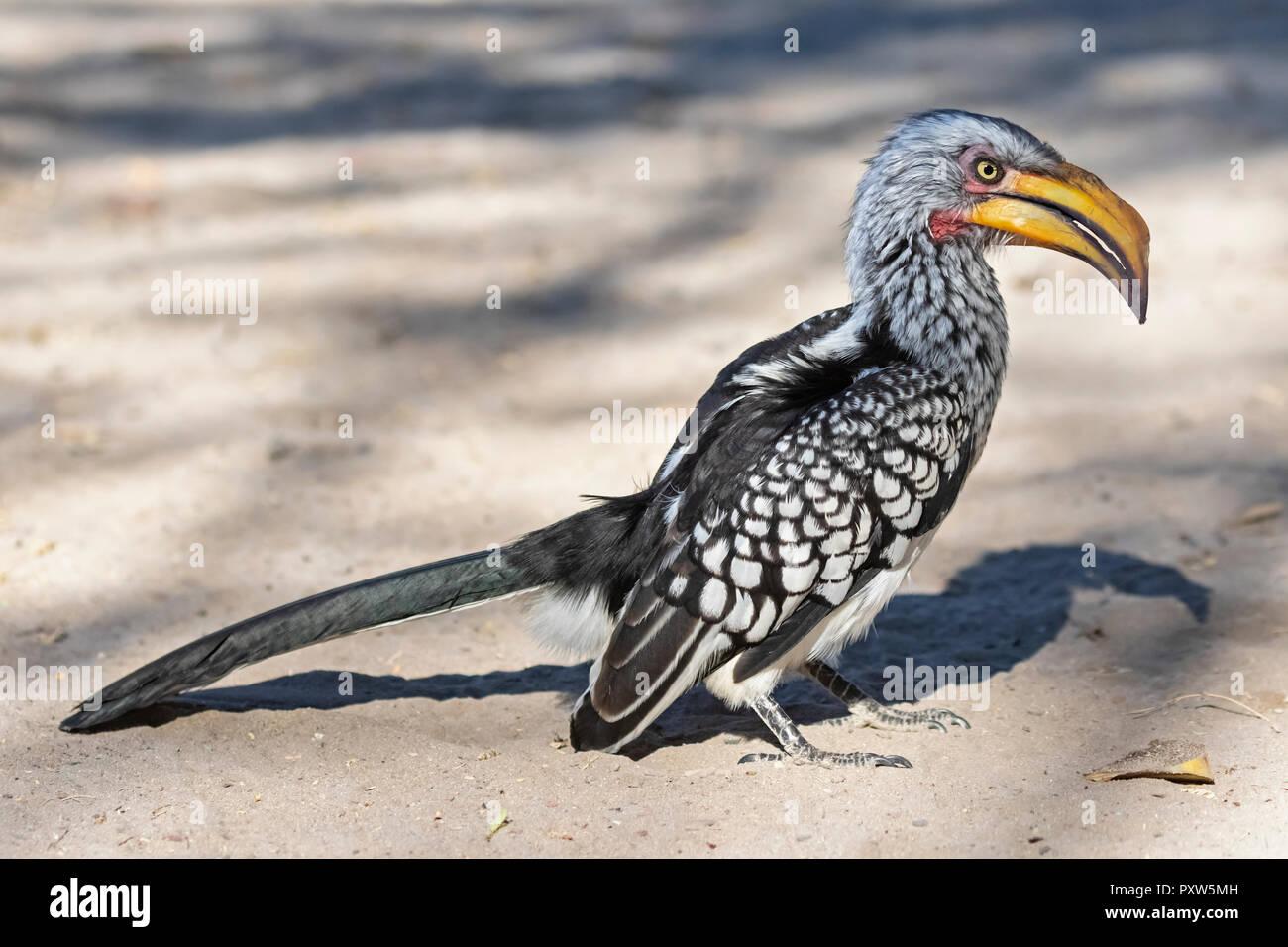 Botswana, Kalahari, Central Kalahari Game Reserve, Yellow-billed hornbill, Tockus flavirostris - Stock Image