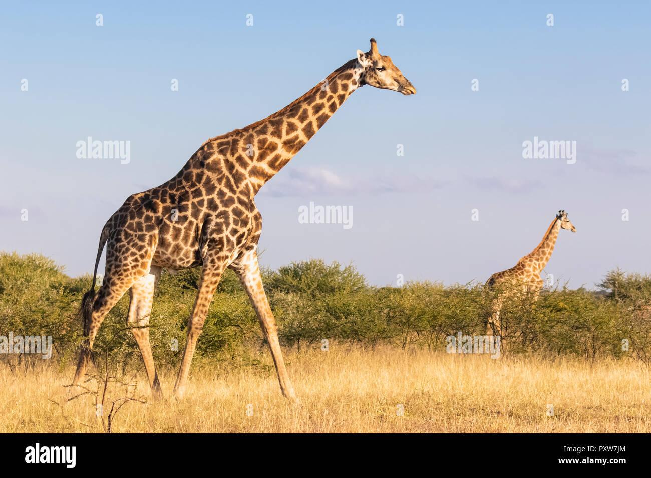 Botswana, Kalahari, Central Kalahari Game Reserve, Giraffes walking, Giraffa camelopardalis - Stock Image