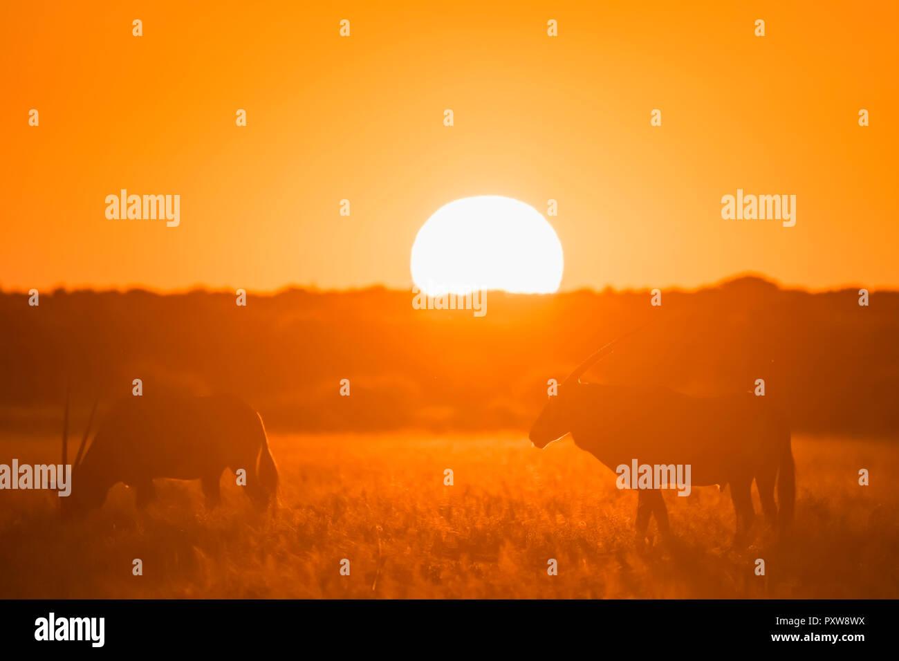 Botswana, Kalahari, Central Kalahari Game Reserve, Greater Kudus at sunset, Tragelaphus strepsiceros - Stock Image