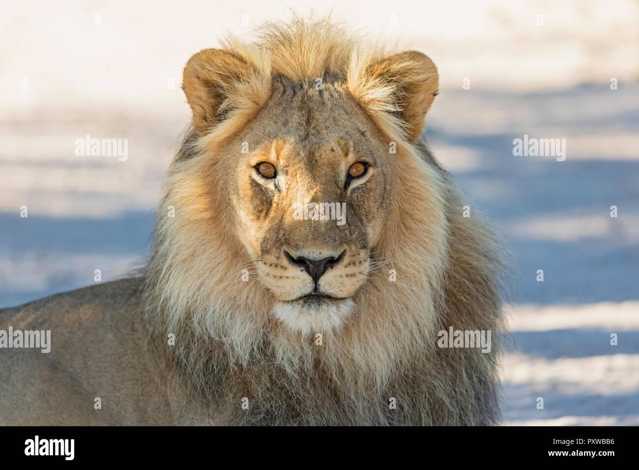 Botswana, Kgalagadi Transfrontier Park, lion, Panthera leo, male - Stock Image