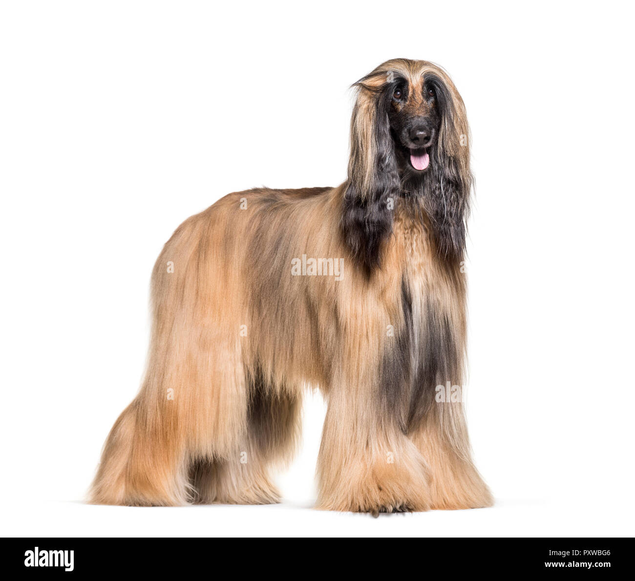 Afghan hound standing against white background - Stock Image