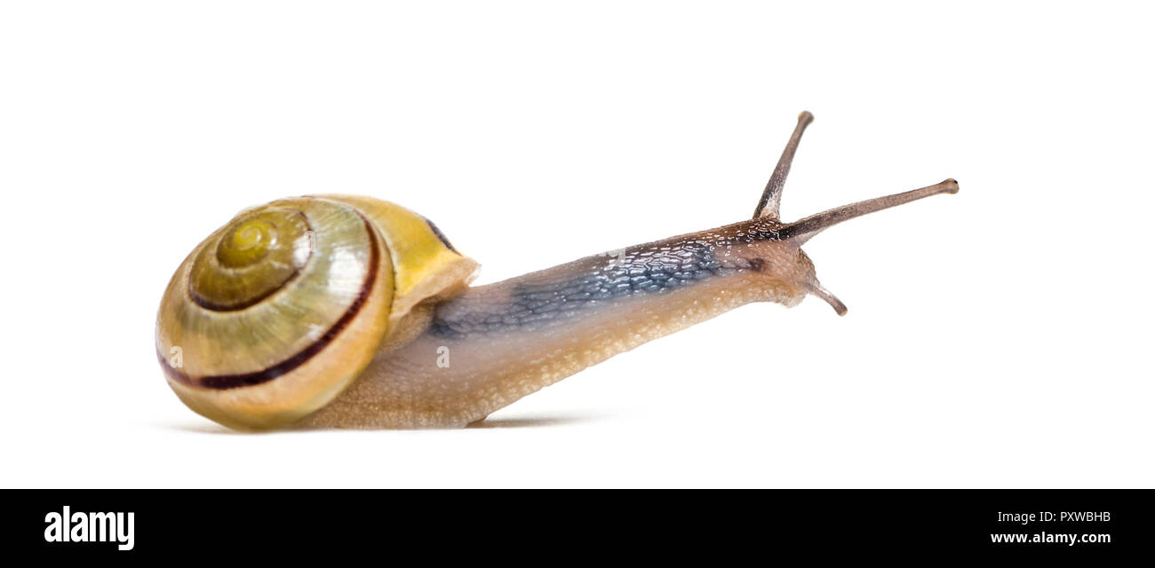 grove snail or brown-lipped snail, Cepaea nemoralis, in front of white background - Stock Image
