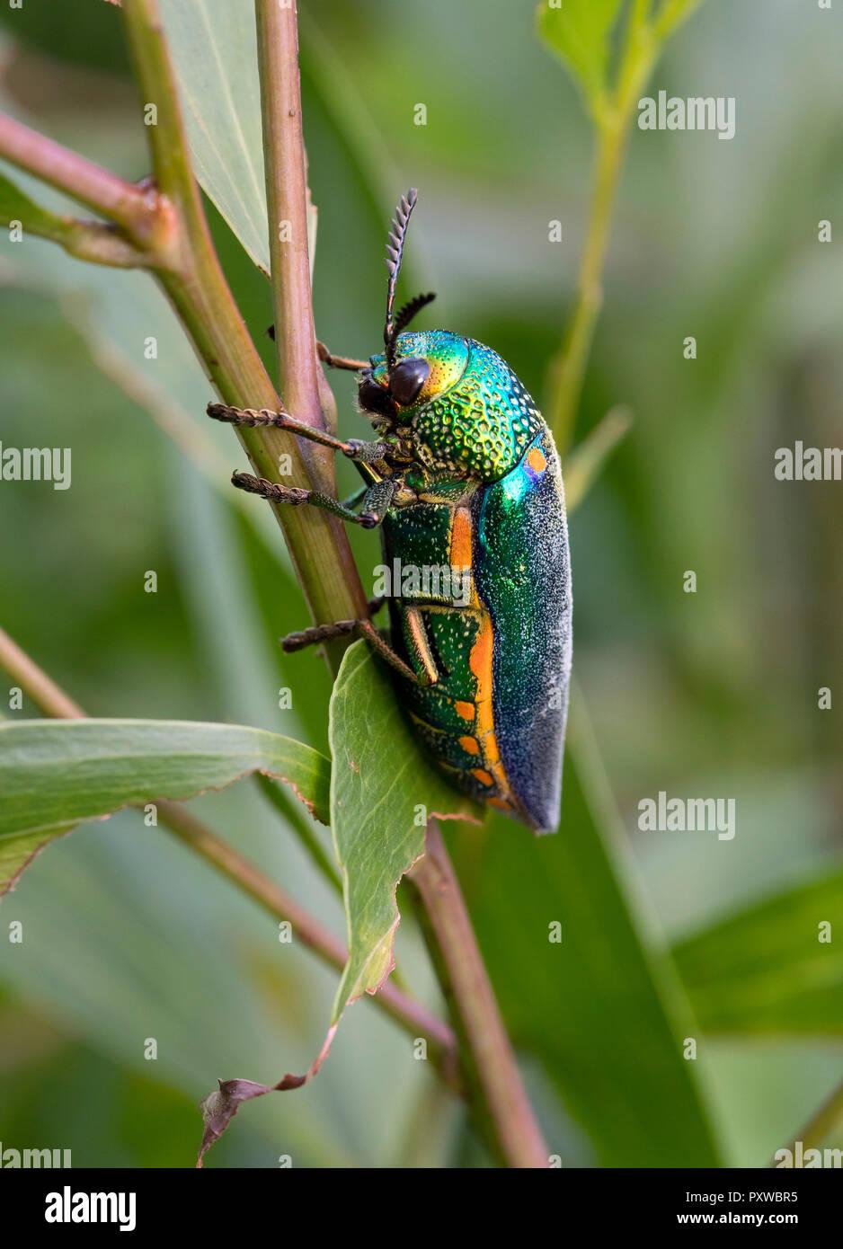 Thailand, Jewel beetle, Buprestidae - Stock Image