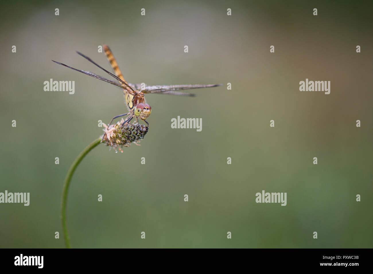 Common darter firefly, Sympetrum striolatum, hovering over flower Stock Photo