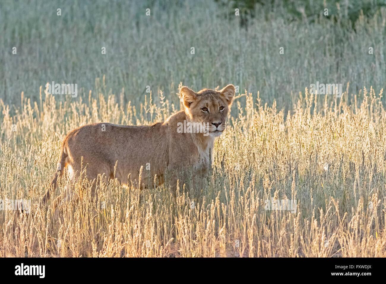 Botswana, Kgalagadi Transfrontier Park, lion, Panthera leo - Stock Image