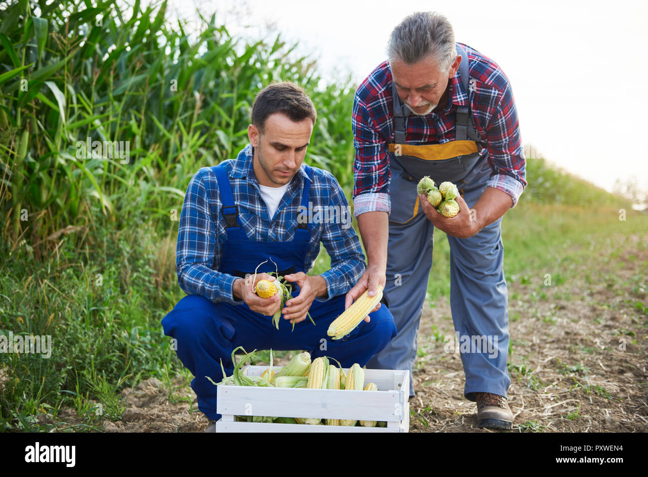 Two experienced farmers controlling their corn crop - Stock Image