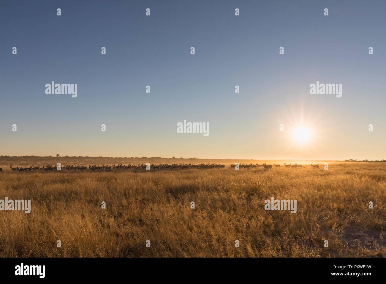 Botswana, Kalahari, Central Kalahari Game Reserve, - Stock Image