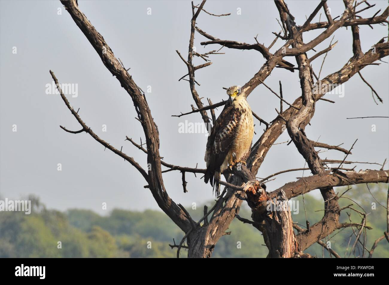 A juvenile Eagle waiting to spot a meal. - Stock Image