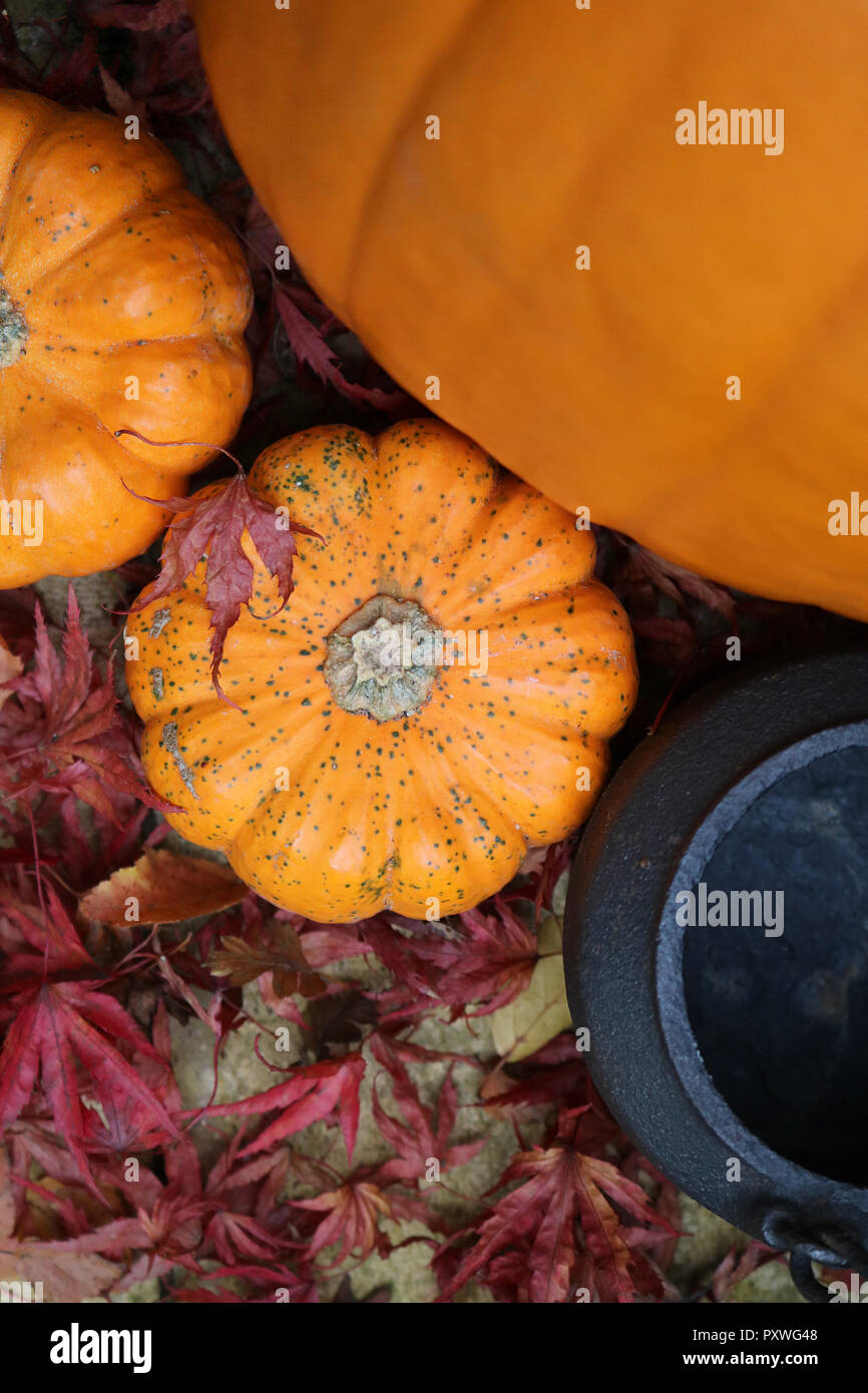 Mini munchkin pumpkins from above next to a large pumpkin and metal cauldron decorated for halloween and fall or autumn - Stock Image