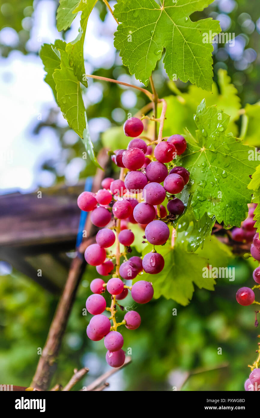Grapes growing on vine - Stock Image