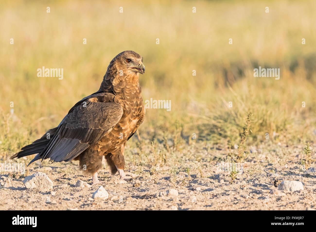 Botswana, Kgalagadi Transfrontier National Park, Mabuasehube Game Reserve, Bataleur eagle, young animal, Terathopius ecaudatus - Stock Image