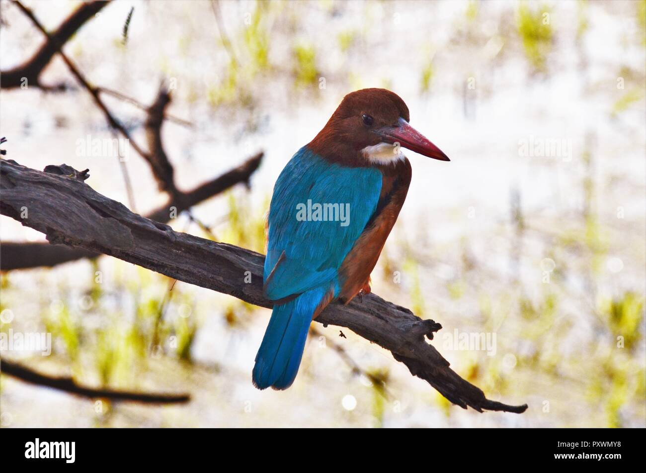 This White-Throated Kingfisher was pretty bold and posed for the camera even when I was barely an arm's length away. - Stock Image