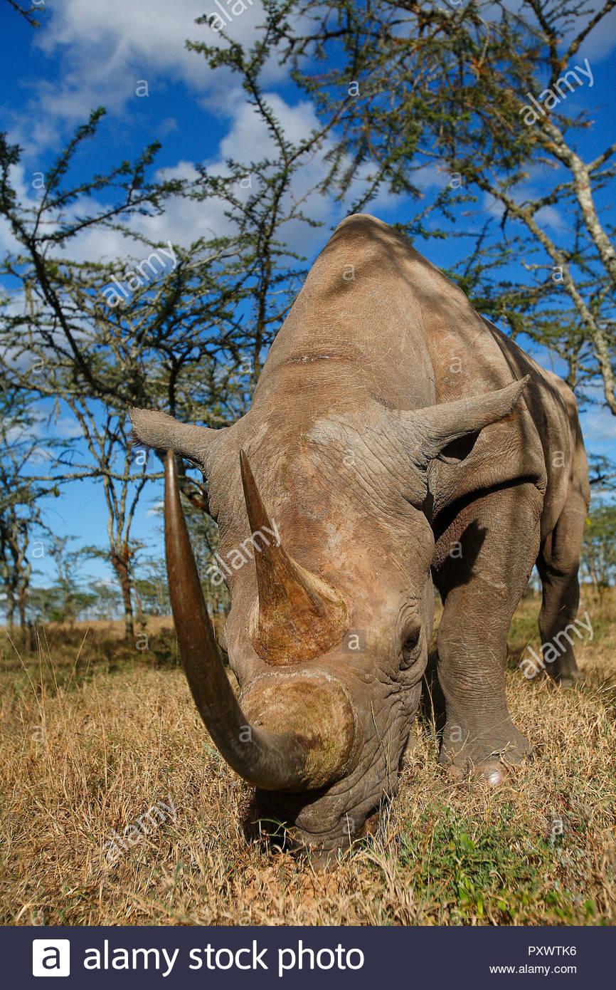 Spitzmaulnashorn (Diceros bicornis), Kenia, Afrika | Black rhino (Diceros bicornis), Kenya, Africa - Stock Image