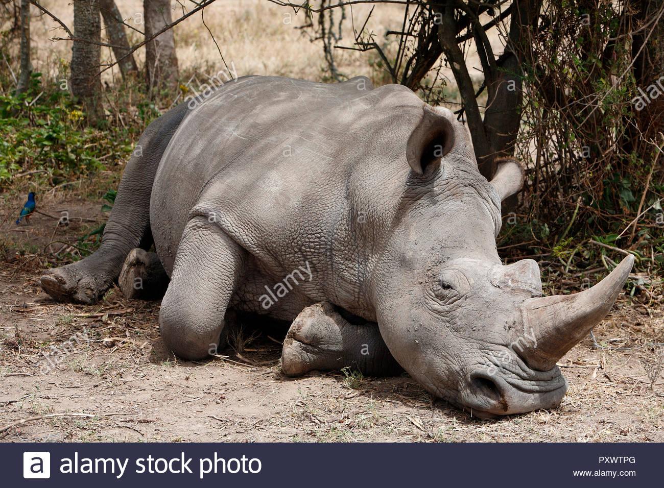 Spitzmaulnashorn (Diceros bicornis), liegend, Kenia, Afrika | Black rhino (Diceros bicornis), laying, Kenya, Africa - Stock Image