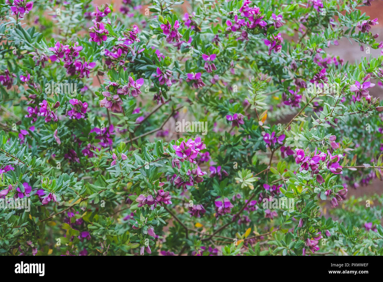 Purple flowers with white pollen and small green leaves. - Stock Image