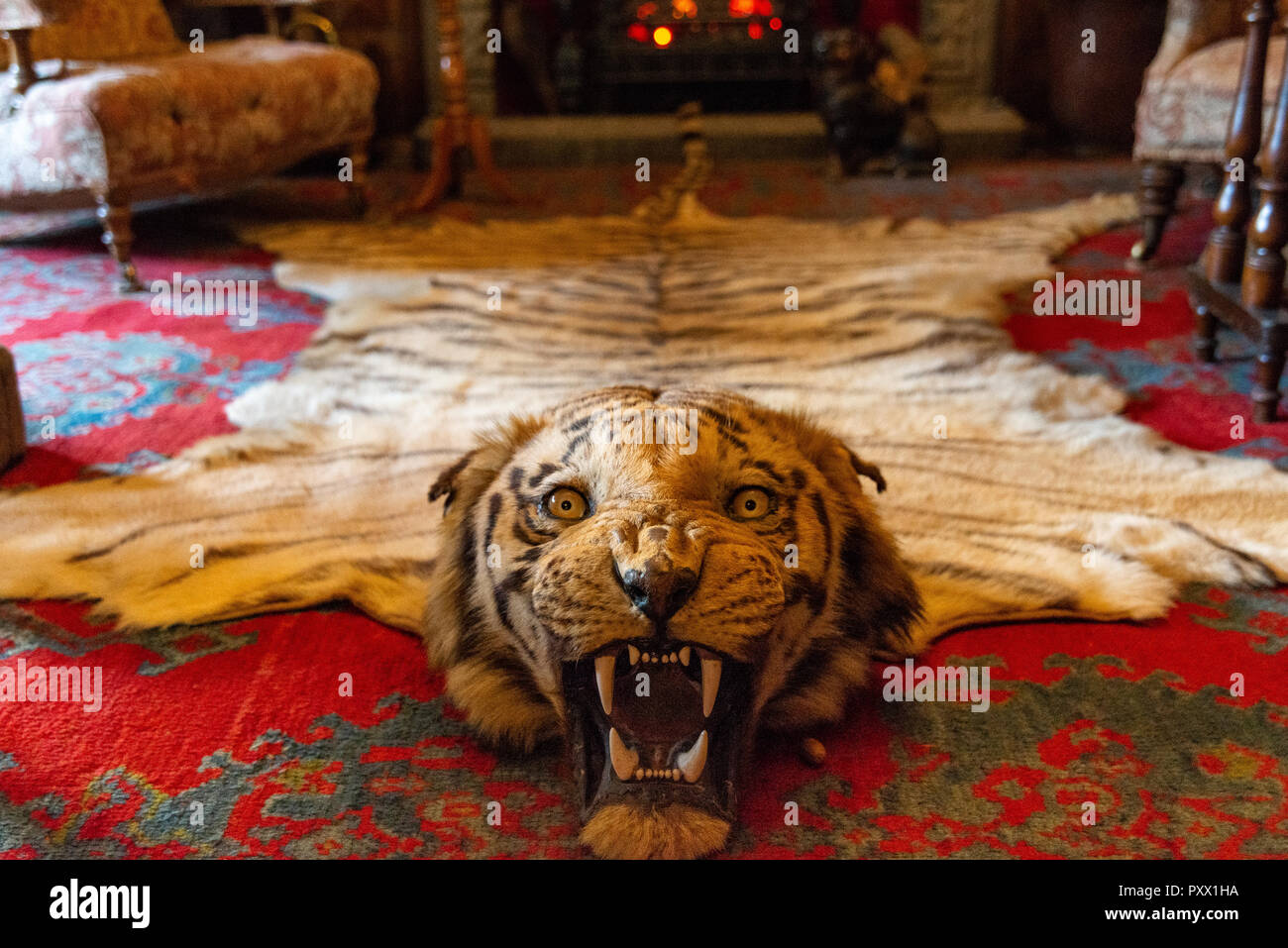 Low angled view of an antique tiger skin rug with the eyes staring and fangs bared on a red carpet. - Stock Image