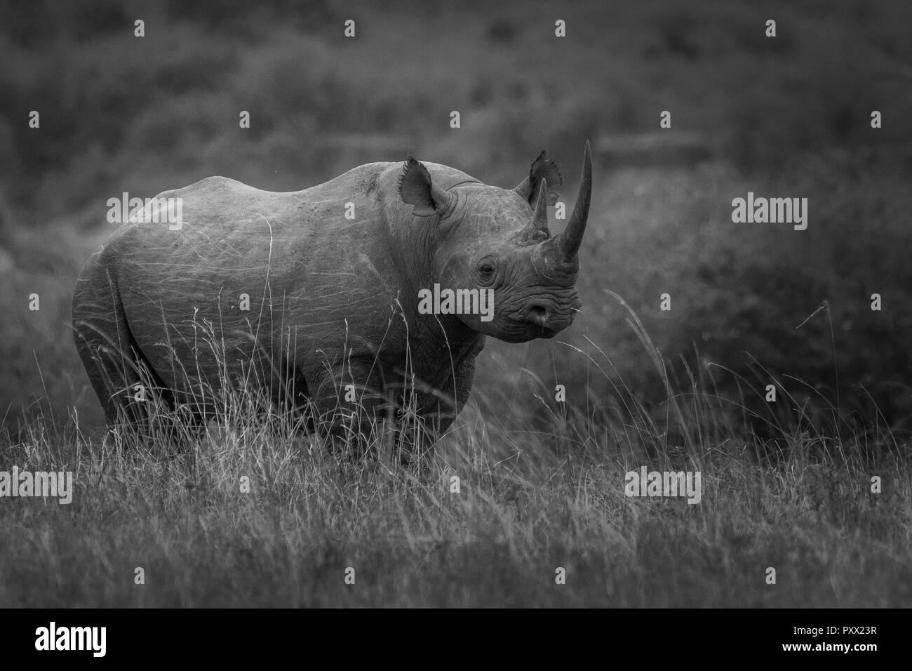 This image of Rhino is taken at Masai Mara in Kenya. - Stock Image