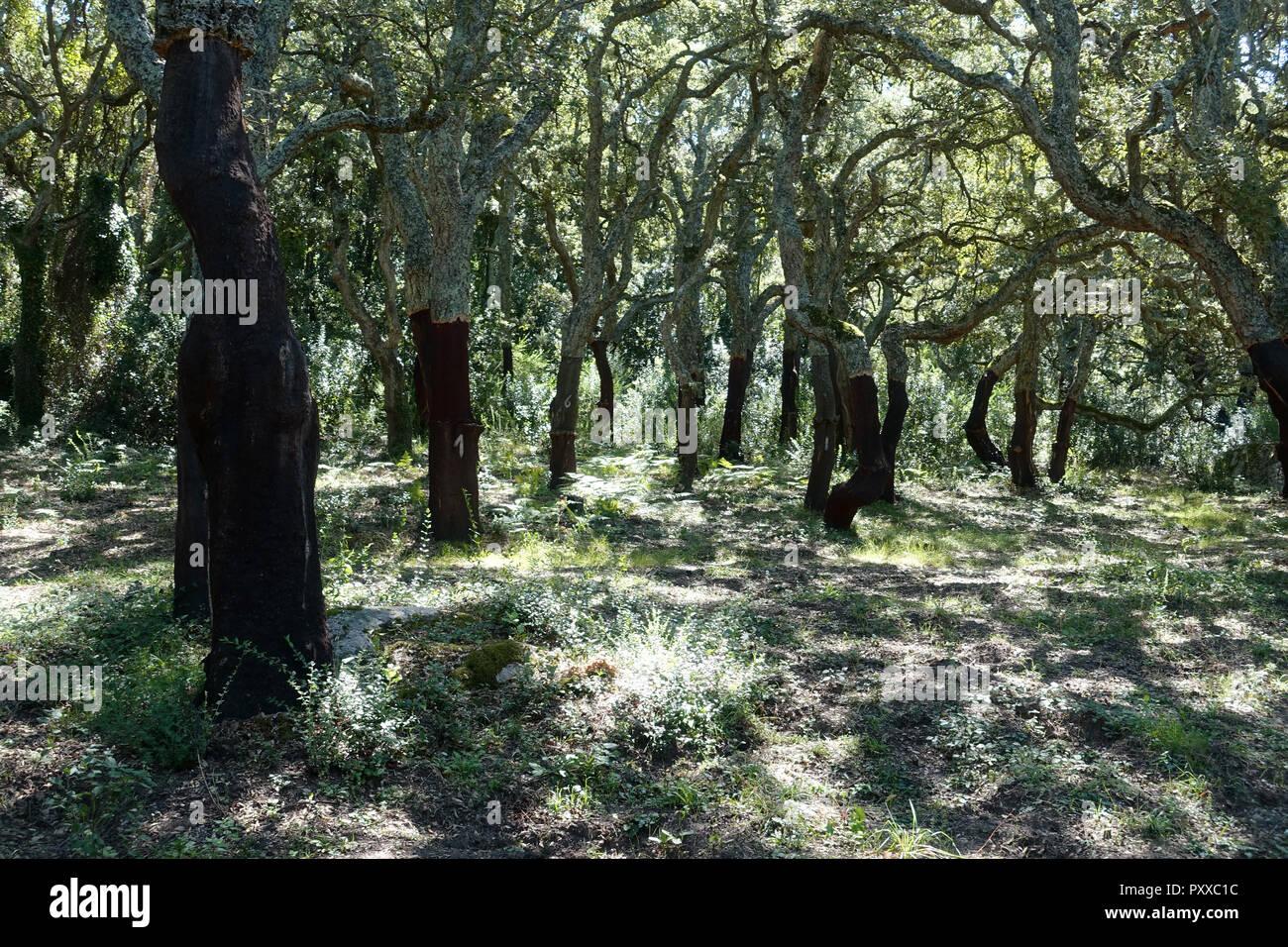 Cork tree woods in northern Sardinia Italy - Stock Image