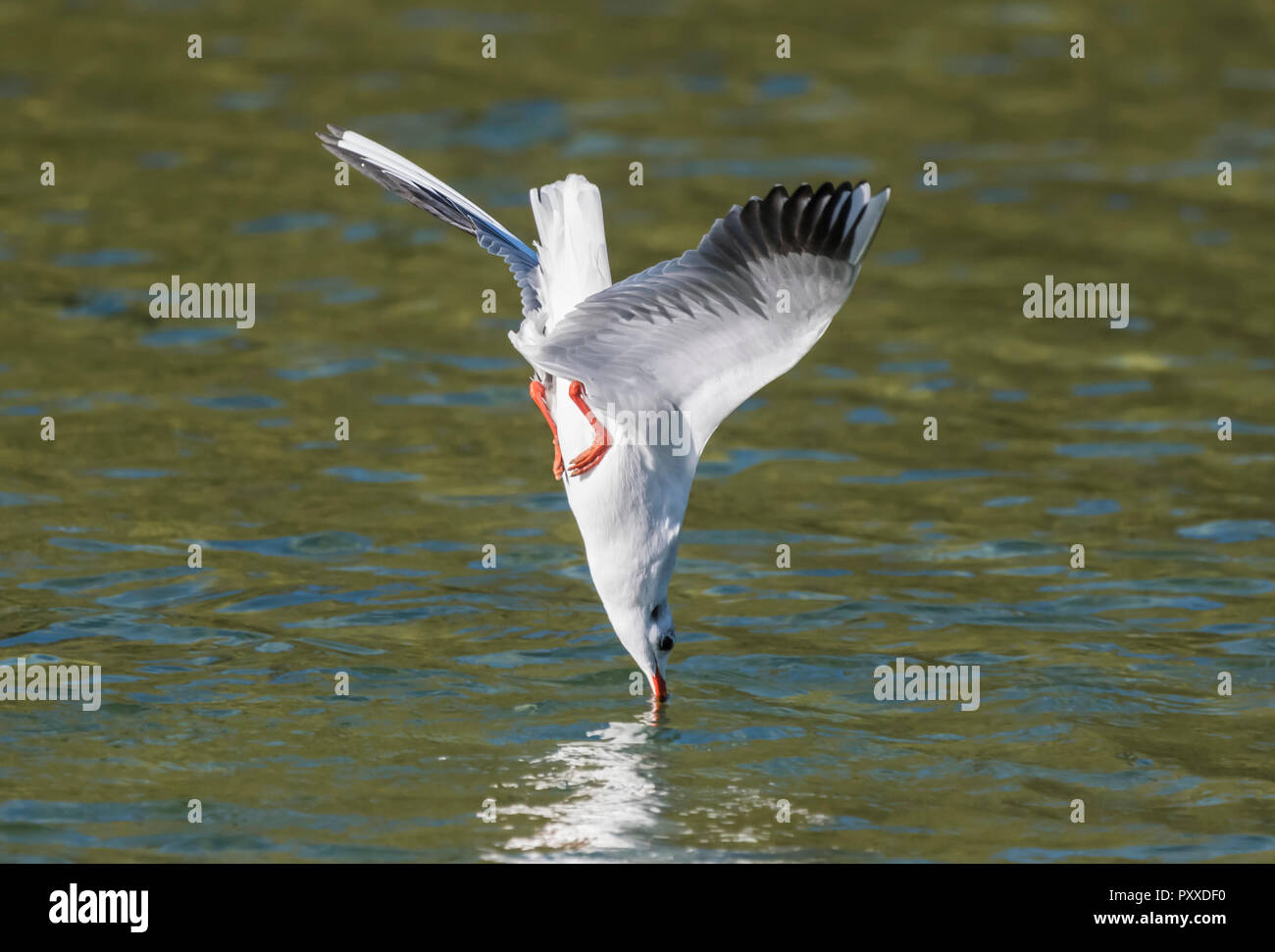 Black-Headed Gull (Chroicocephalus ridibundus) diving into water in Autumn in West Sussex, England, UK. - Stock Image