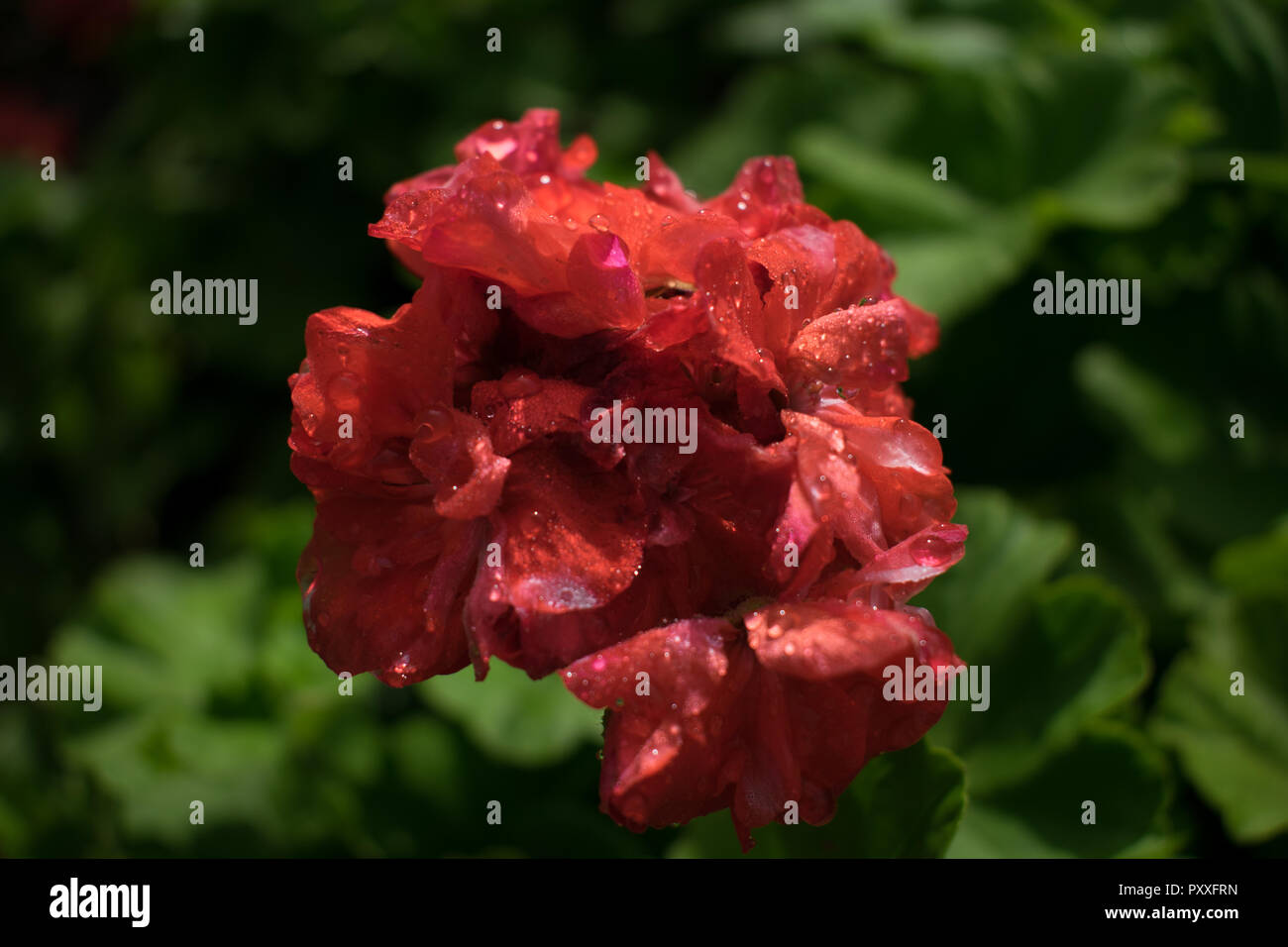 a picture of a reddish Orange flower - Stock Image