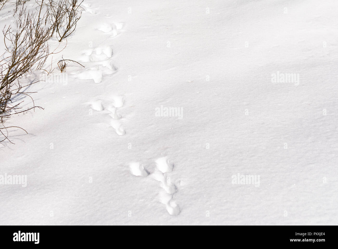 Hare foot tracks in snow forest. winter background - Stock Image