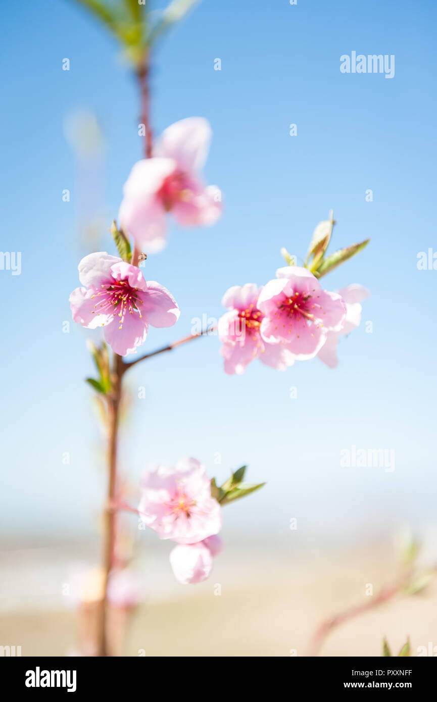 Pink blooms in spring on a flowering fruit tree. - Stock Image