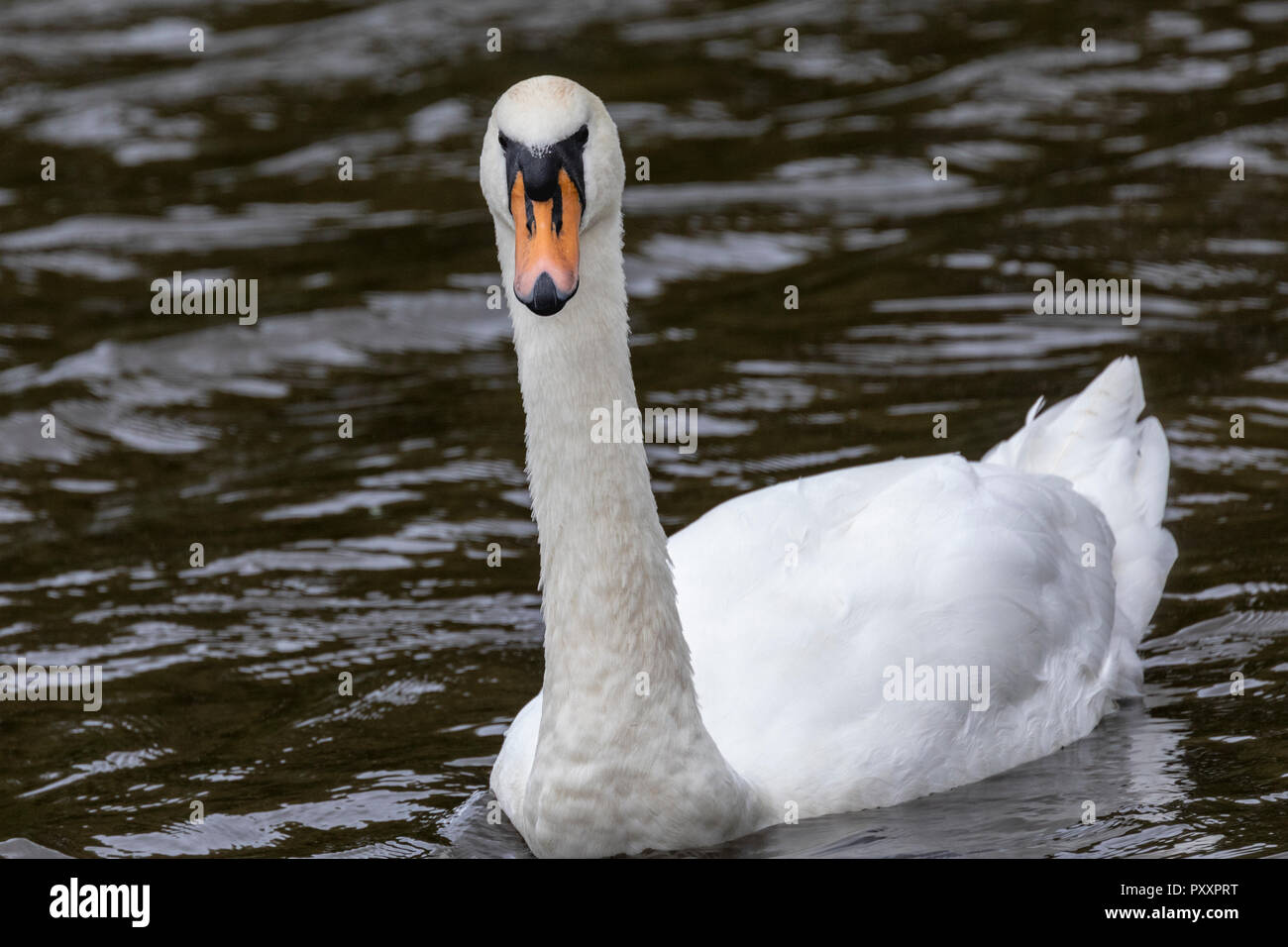 Mute Swan, (Cygnus olor) single bird swimming in lake Stock Photo