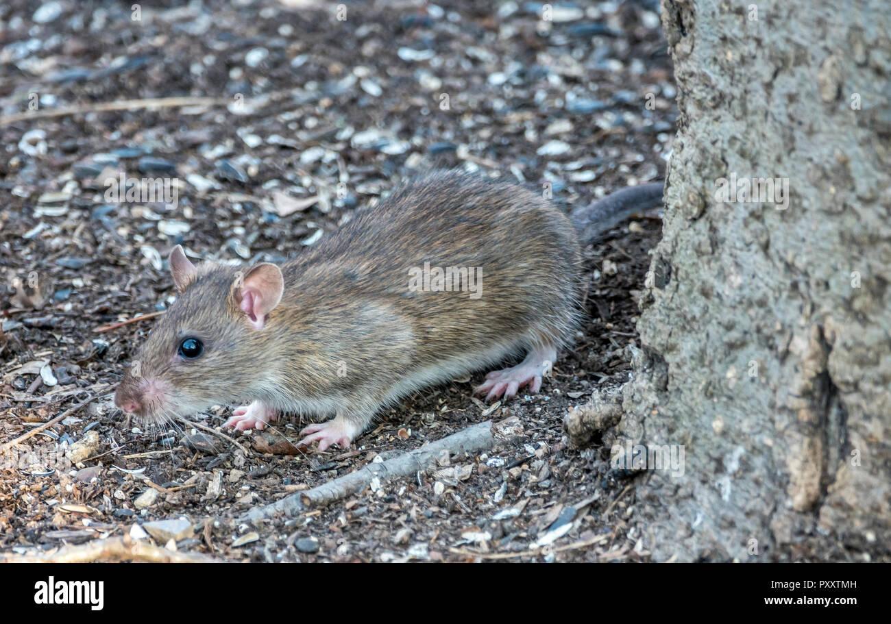 brown rat,Rattus norvegicus, also known as the common rat, street rat, sewer rat, Hanover rat, - Stock Image