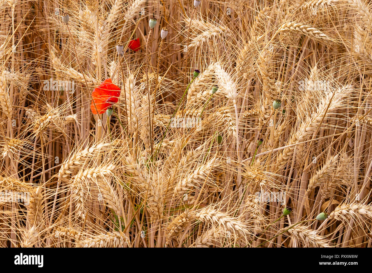 'Fair waved the golden corn', Stamford, Lincolnshire, UK - Stock Image