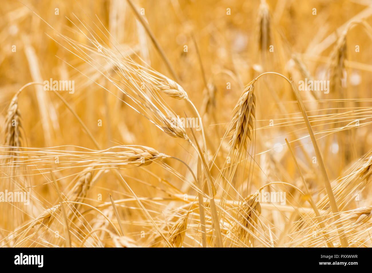 closeup to fresh barley grain Stock Photo