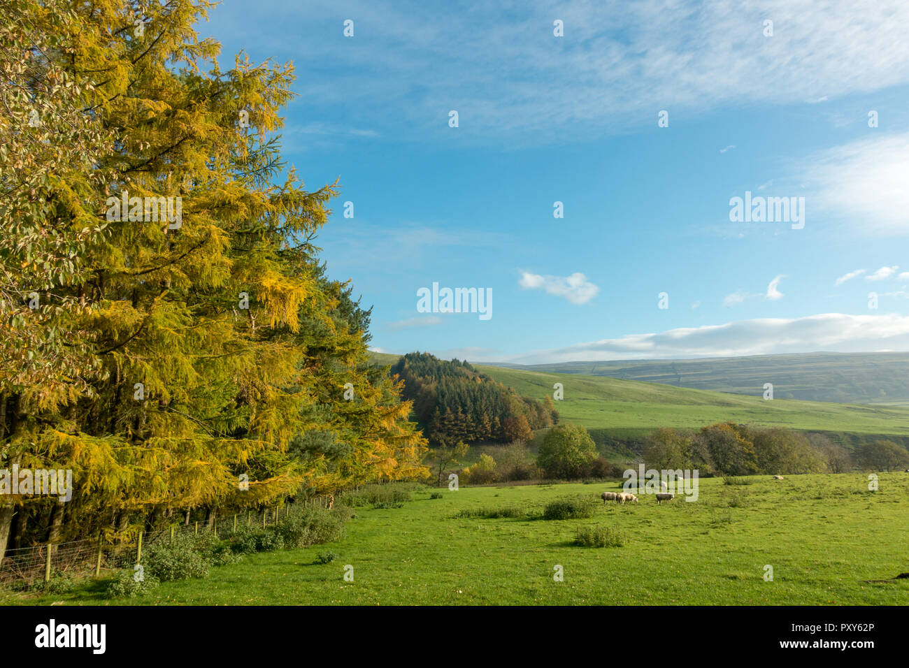 Larch trees in autumnal colour in Littondale looking towards Wharfedale, Yorshire Dales, UK - Stock Image