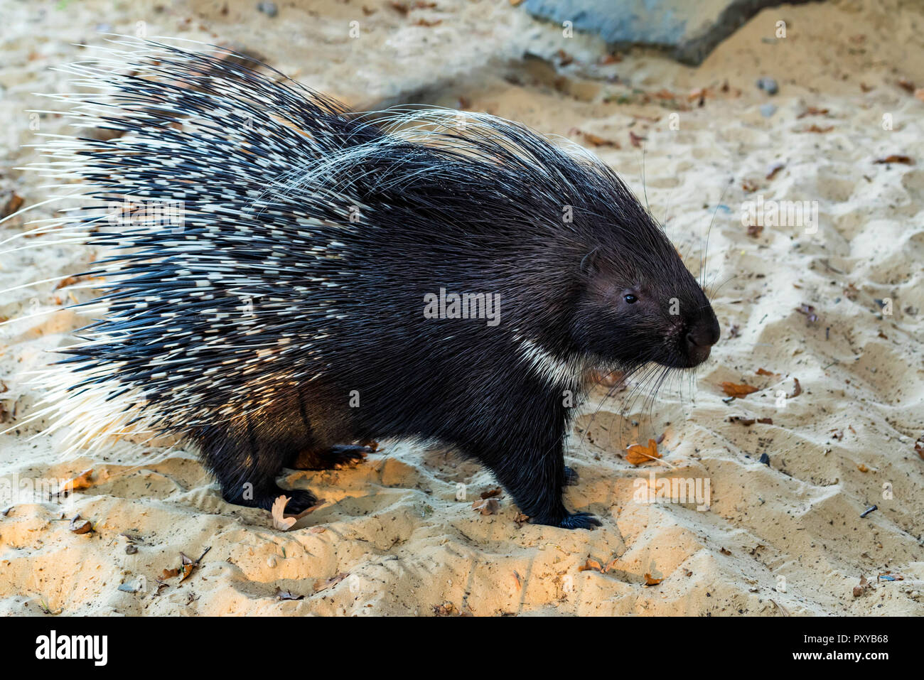 Indian Crested Porcupine or Hystrix indica on sand - Stock Image