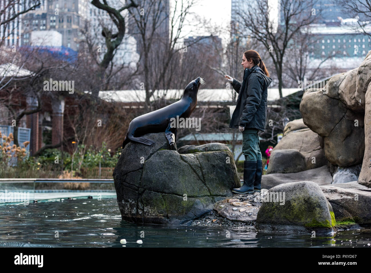 Sea lion feeding and training is part of animal enrichment program at Central Park Zoo in New York City. - Stock Image