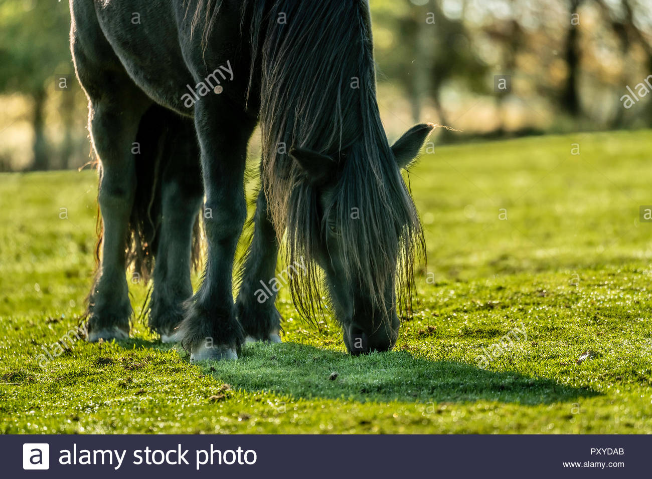 Towford, Jedburgh, Scottish Borders, UK. 15th October 2018. Fell Ponies graze in the autumn sunshine at Towford Farm in the foothills of the Cheviots  - Stock Image