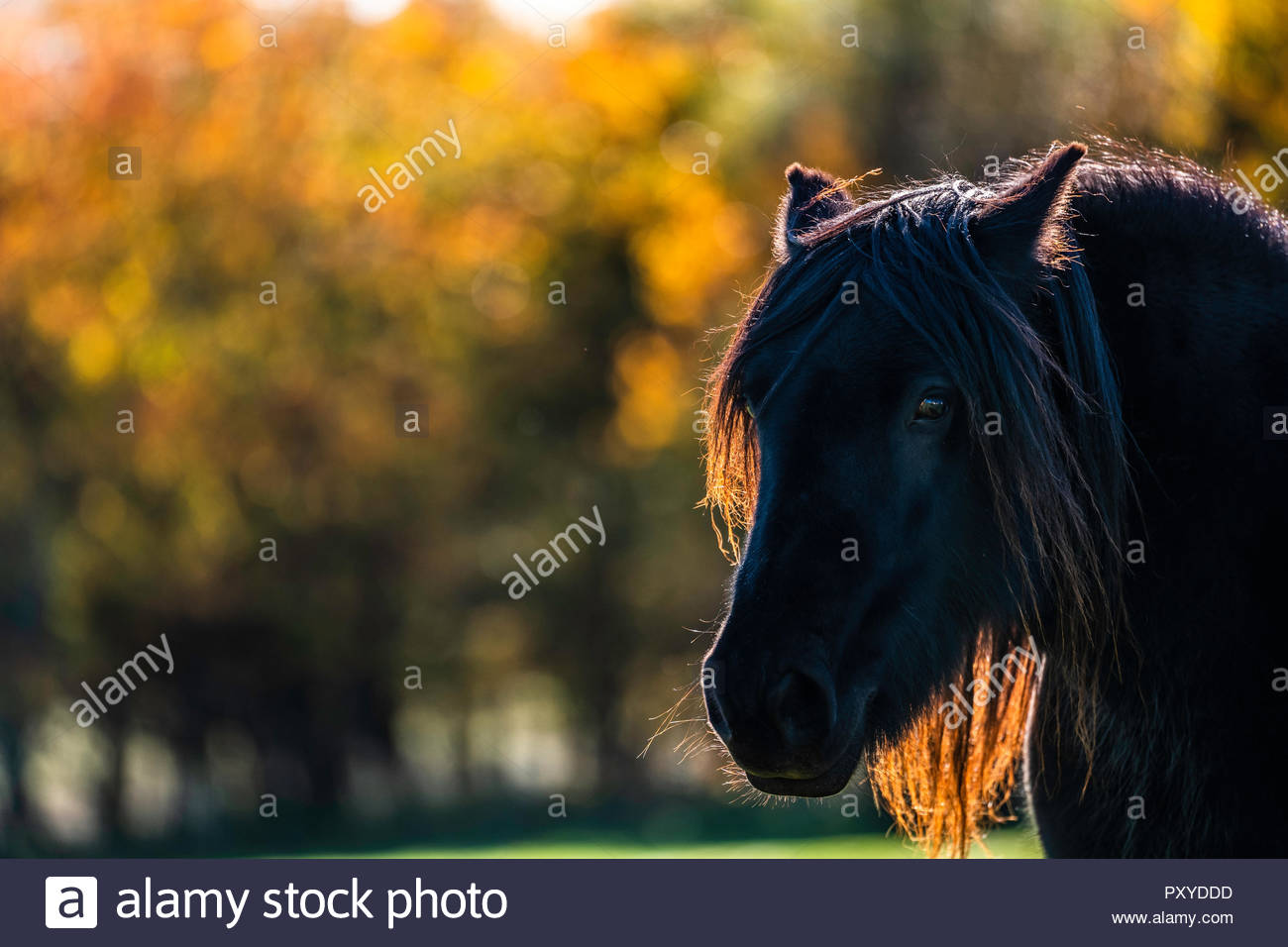 Towford, Jedburgh, Scottish Borders, UK. 15th October 2018. Fell Ponies graze in the autumn sunshine at Towford Farm in the foothills of the Cheviots  Stock Photo