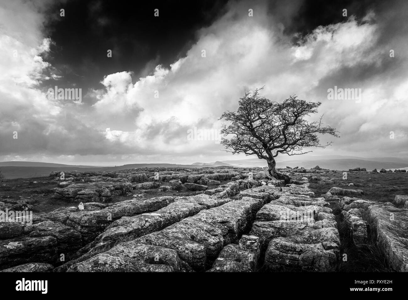 Monochrome of a single hawthorn tree growing out of limestone pavement at Winskill, Yorkshire Dales, UK - Stock Image