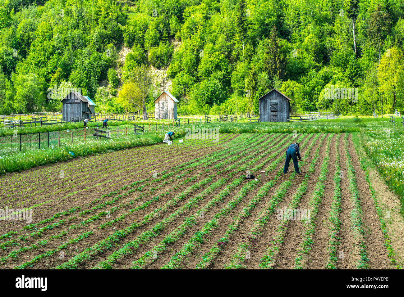 ROMANIA, BUKOVINA, People working on their small fields by hand - Stock Image