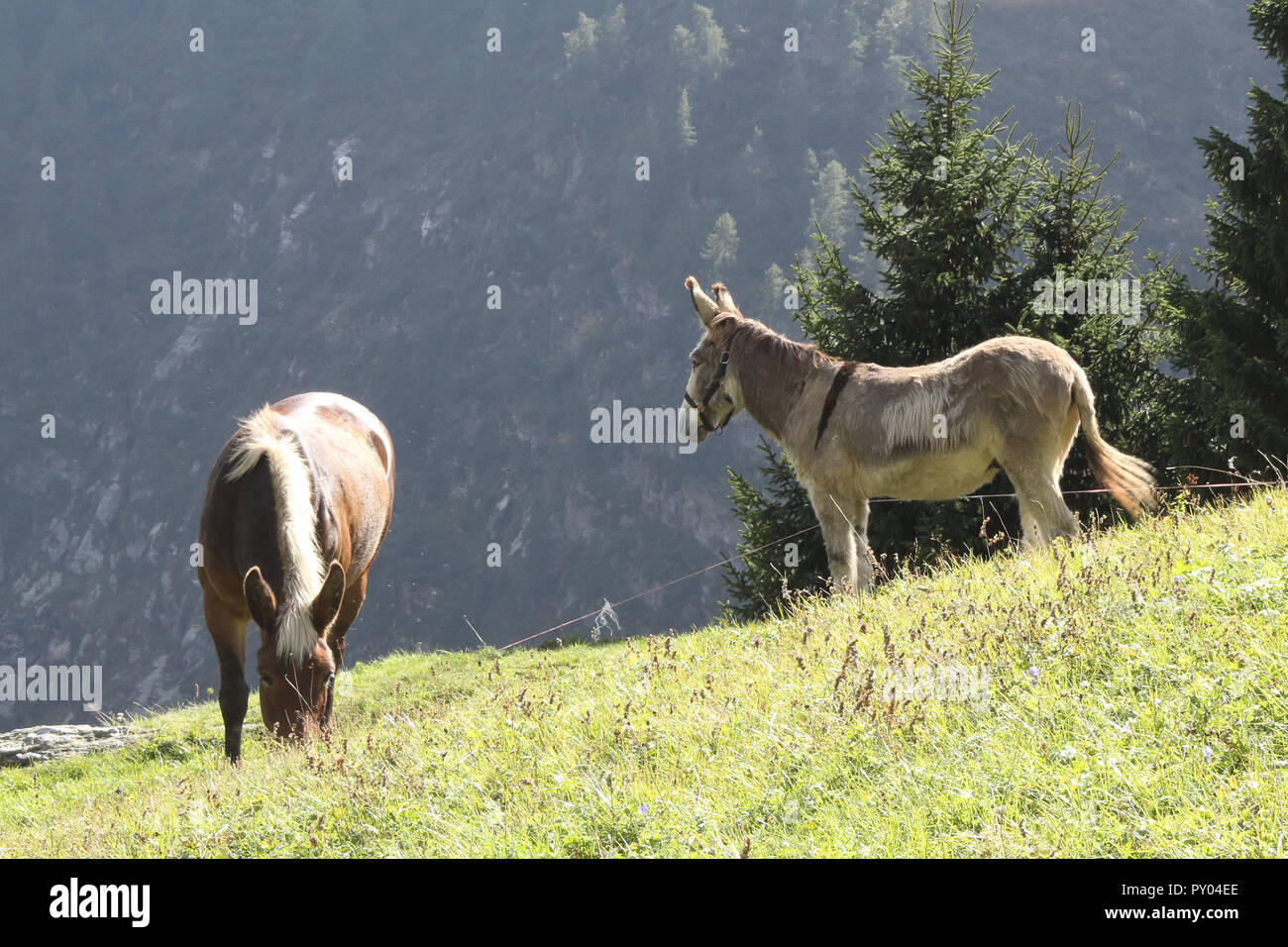 A brown skin and white mane pony horse grazing in a pasture next to a  white and grey donkey during a sunny summer day in the Alps mountains, Italy Stock Photo