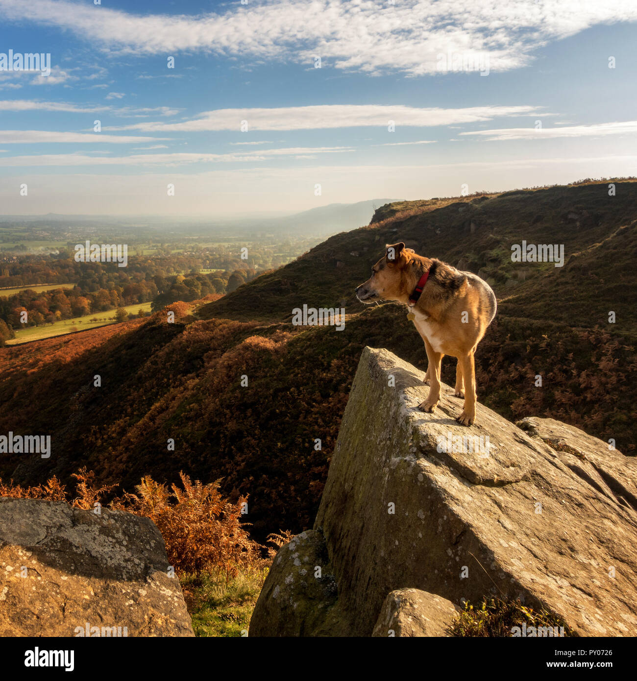 Dog standing on a rock on a countryside walk enjoying an autumnal walk over Wharfedale - Stock Image