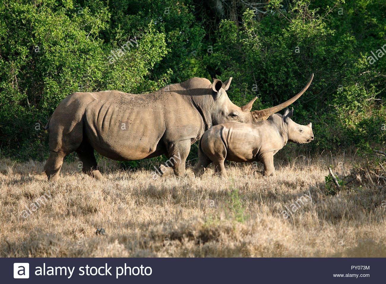 Breitmaulnashorn (Ceratotherium simum) mit Kalb, Kenia, Afrika | White rhinoceros (Ceratotherium simum) with calf, Kenya, Africa - Stock Image