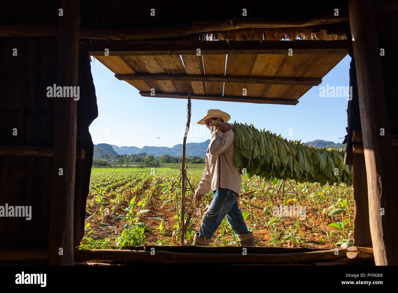Man carrying tobacco leaves seen through open window of simple cottage, Vinales, Pinar del Rio Province, Cuba - Stock Image